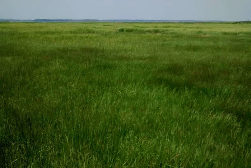 Salt hay (Spartina patens) on the high salt marsh of the Merrimack River Estuary in Newburyport, Massachusetts.