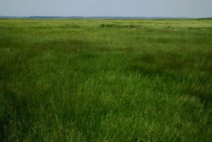 Salt hay (Spartina patens) on the high salt marsh of the Merrimack River Estuary in Newburyport, Massachusetts.